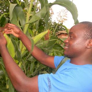 controllo dei campi di mais in Africa sub-Sahariana